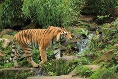 Wandelende amur tijger Stock Foto
