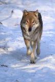 Wandelende grijze wolf Royalty-vrije Stock Foto