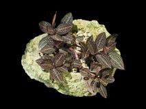Wandelgalerijinstallatie op rots met groen die mos op zwarte achtergrond wordt geïsoleerd Stock Afbeeldingen