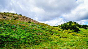 Wandeling door de hoge Alpiene Weiden die met Wildflowers worden behandeld stock foto's