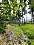 Wandeling door padievelden en kokosnotenaanplanting op Mindoro, Filippijnen royalty-vrije stock foto's