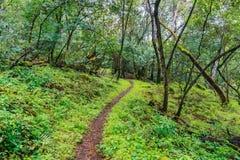 Wandelingssleep door de weelderige bossen van Santa Cruz-bergen, de baaigebied van San Francisco, Californië stock foto