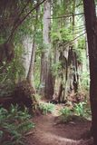 Wandelingssleep door oud de groeibos in Californische sequoia Nationaal Park in Californië royalty-vrije stock afbeelding