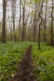 Wandelingssleep en Virginia Bluebell Wildflowers - Ohio royalty-vrije stock afbeelding