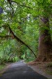 Wandelingssleep met bomen en brug van Hoh Rain Forest Stock Foto's