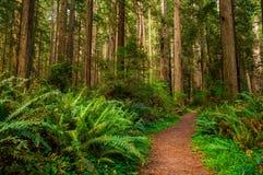 Wandelingsweg in Californische sequoiabos Stock Foto's