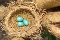 Wanderdrossel ` s Eier und Nest II lizenzfreie stockfotos