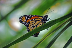 Wanderer butterfly. Side on view of a wanderer (monarch) butterfly on a leaf royalty free stock photography