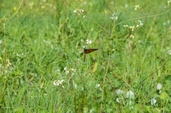 Wanderer Butterfly and Wildflowers Royalty Free Stock Photos