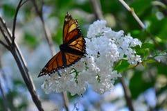 Wanderer-Schmetterling auf einer weißen Wolke von Blumen Stockfotografie