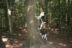 Wandererwaschbärjagdhund, der am Baum bellt Lizenzfreie Stockbilder