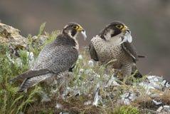 Wanderfalke auf dem Felsen, verbinden das Teilen ihres Opfers, eine Taube, Falco-peregrinus stockbilder