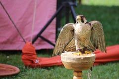 Wanderfalke (Falco-peregrinus) sitzend auf einer hölzernen Plattform stockfotos