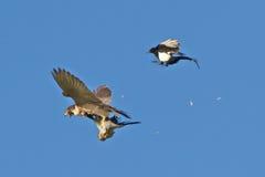 Wanderfalke schlägt den Woodpigeon, der von der Elster angegriffen wird Lizenzfreie Stockfotos