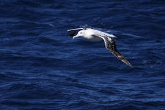 Wandering Albatross. (Diomedea exulans) gliding over the Pacific Ocean Stock Image