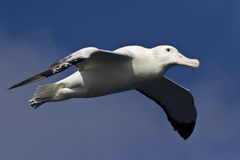 Wandering albatross on a background of  sky. Wandering albatross on a background of blue sky Stock Image
