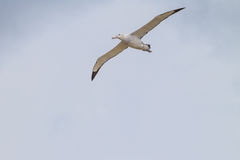 Wandering Albatross comes in for a landing on Prion Island, South Georgia Stock Photography