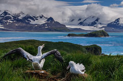Wandering Albatross Couple. The largest bird of the southern ocean, the magnificent giant wandering albatross nests at south Georgia. The oftentimes form Stock Photos