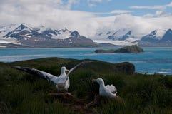 Wandering Albatross Couple raising wings. Royalty Free Stock Image