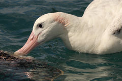Wandering Albatross Feeding. A Wandering Albatross feeding in the Pacific Ocean off the coast of New Zealand Stock Image