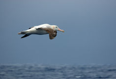 Wandering albatross in flight. Over the ocean Stock Image