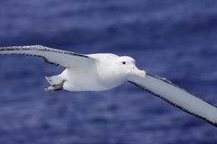Wandering Albatross in Flight. Closeup of wandering albatross in flight over southern ocean with blue ocean as background stock photography