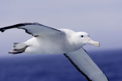 Wandering Albatross in Flight. Closeup of wandering albatross in flight over the southern ocean with blue ocean and sky as background Stock Photography
