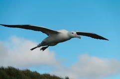 Wandering Albatross in Flight Stock Photos