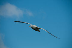 Wandering Albatross in Flight Stock Images