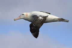 Wandering albatross flying against the blue sky 1 Royalty Free Stock Photo