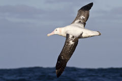 Wandering albatross flying over the blue waters Royalty Free Stock Images