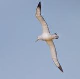 Wandering albatross Stock Images