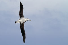 Wandering albatross gliding over the Drake Passage. Wandering albatross with the world's largest wingspan flying over the feared Drake Passage between the tip of Royalty Free Stock Image