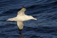 Wandering albatross hovering over the Atlantic Ocean Stock Photo