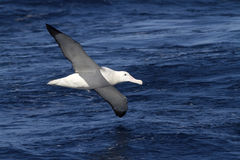 Wandering albatross hovering over the blue surface of the Atlant Royalty Free Stock Photo