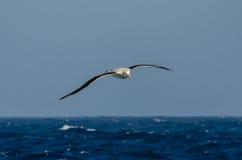 Wandering Albatross at sea. Wandering albatross (Diomedea exulans) flying at sea Stock Images