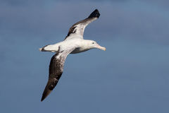 Wandering albatross in the sky of the Atlantic Stock Image