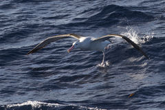 Wandering albatross taking off from the surface of the water Royalty Free Stock Photo
