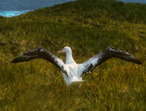Wandering Albatross Wingspan, South Georgia. A wandering albatross, largest of seabirds with wingspans in excess of ten to eleven feet, extends it wings, ready royalty free stock images
