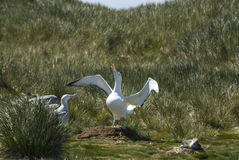 Wandering Albatrosses on the nest Royalty Free Stock Images