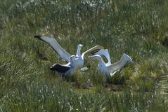 Wandering Albatrosses on the nest Stock Photos