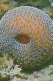 Wandering anemone Stock Image