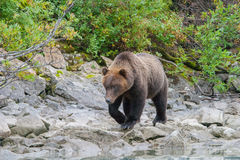 Wandering bear Royalty Free Stock Image
