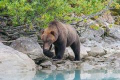 Wandering bear Royalty Free Stock Photos