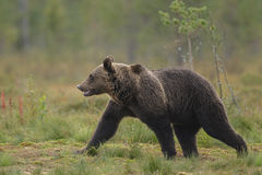 Wandering brown bear Royalty Free Stock Images