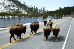 Wandering Buffalo. A herd of Buffalo migrate down a lonely highway in Yellowstone National Park Stock Photography