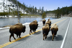 Wandering Buffalo. A herd of buffalo migrate up a lonely highway in Yellowstone National Park Stock Photography