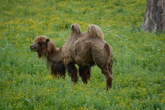 Wandering Camel stock photo