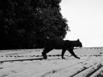 Wandering cat. Wandering black cat walking above the rooftop Royalty Free Stock Photo