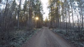 Wandering on a cold frozen forest dirt road surrounded by mighty pine trees in early morning sunshine in late autumn. In the arctic circle wilderness stock video